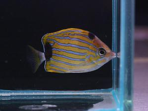 ハワイ便 - ビーボックスアクアリウム 海水魚・サンゴ情報