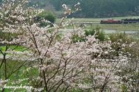 かくれ桜に感嘆~DLやまぐち号~ - 蒸気をおいかけて・・・少年のように