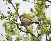 今日の鳥さん 170418 - 万願寺通信