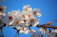 圧倒的桜。2017 - 晴れたらいいね♪