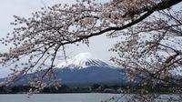 今年も河口湖の桜 満開シーズンとなりました - モーニングサラダの勝手な独り言