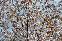 観桜ご近所ドライブツアー(番外編) ~ 桜、もうひと咲かせ ~ - 大屋地爵士のJAZZYな生活