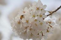 桜 vs ライトグレー三銃士 その3 - Jester's Pictures