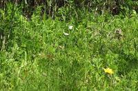 ■ ツマキチョウが交尾   17.4.19 - 舞岡公園の自然2