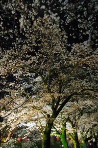 夜桜 - kazuuブログ