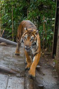上野動物園のトラ☆彡 - DAIGOの記憶