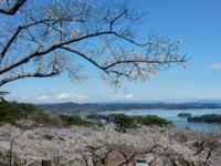 瑞巌寺の枝垂れ桜 - 愛犬家の猫日記