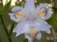著莪の花(しゃが) - 家の周りの季節感