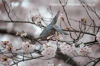 桜雀鷹(*^_^*) - BLIND SIDE