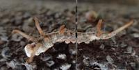 ウコンカギバの幼虫  Tridrepana crocea - 写ればおっけー。コンデジで虫写真