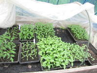 唐辛子、ピーマンの仮植 - 南阿蘇 手づくり農園 菜の風