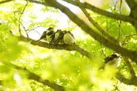 エナガの雛団子 - 風見鶏日記