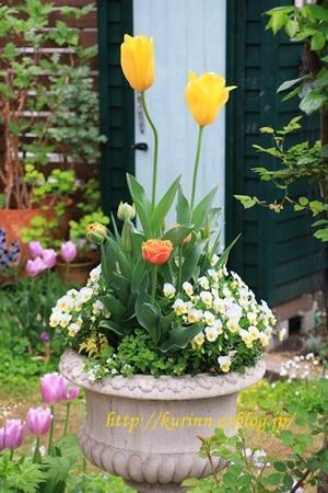 もう少し楽しめそうなチューリップ♪ - miyorinの秘密のお庭