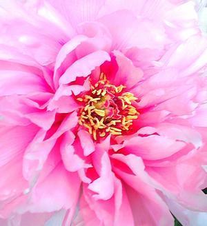 祥雲寺の桜と芍薬・``☆、。・:・゚`☆4月15日東京渋谷区 - Beautiful Japan 絵空事