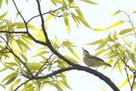 朝の里山 - TACOSの野鳥日記