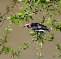 春の渡りのコムクドリを・・・ - 一期一会の野鳥たち