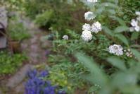 こでまり咲いた - お庭のおと