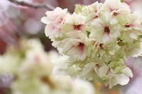 ウコン桜 - Art de vivre