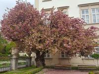 2017年 ミラベル宮殿の桜 最終回? - ザルツブログ ザルツブルク在住者による、グルメ・文化・旅行の贅沢写真日記
