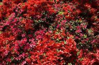 花の木公園 つつじの園 - 素顔のままで