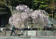 今年最後の桜 - ネコトクラス