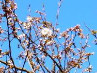 我が家の桜開花宣言 - 里山の機織りばぁば