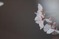 いつぞやの桜🌸 - SOMEWHERE