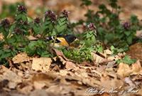 公園で会えた「アトリさん達」(^^♪ - ケンケン&ミントの鳥撮りLifeⅡ