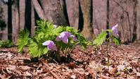 薄紫のシラネアオイ程・・・♪!・・・赤城自然園 - 『私のデジタル写真眼』