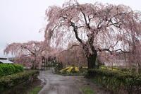 雨の日の桜 - barbersanの野鳥観察
