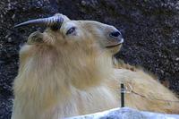 ゴールデンターキンの「ロウ」 - 動物園放浪記