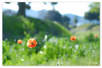 オレンジ色のひなげし。 - Yuruyuru Photograph