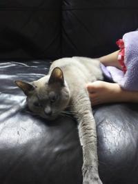 バタバタ木曜日 - MINKWIN Cattery &Pretty Aki