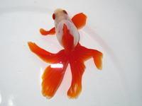 4月20日新着金魚のご紹介です(トリートメント済) - フルタニ金魚倶楽部blog