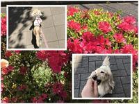 17年4月20日 お散歩に、おもちゃ遊びに・・平和な日常(笑) - 旅行犬 さくら 桃子 あんず 日記