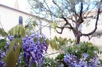 藤とワインと感性・理解力 - ペルージャ イタリア語・日本語教師 なおこのブログ - Fotoblog da Perugia
