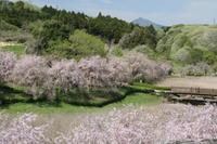 常陸風土記の丘しだれ桜 - 亢竜悔いあり