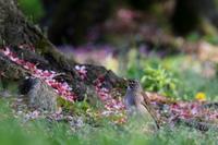 シロハラの春 - 鳥待ち写真日記