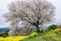 桜旅〜馬場の山桜 - 撃沈 Photo Diary