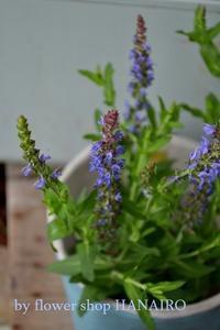 春の植え替えはしましたか?花苗の入荷情報。 - 花色~あなたの好きなお花屋さんになりたい~