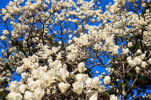 京都御苑の春の花々 - 花景色-K.W.C. PhotoBlog