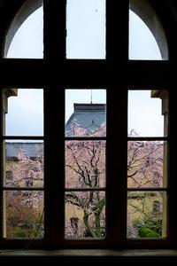 京都の桜2017 府庁旧本館のしだれ桜 - 花景色-K.W.C. PhotoBlog