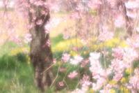 華やぐ春 ☆枝垂れsacra - 夢・ファンダンゴ