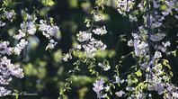 高原のノビタキ - 雅郎の花鳥風月