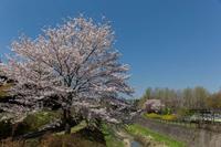 満開だった昭和記念公園の桜 - あだっちゃんの花鳥風月