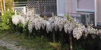 今年の春も錦帯橋ヘ - ゆっくり歩こうね。。。♪