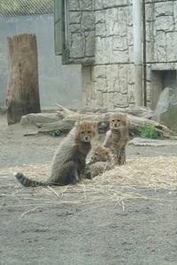 チーターの赤ちゃん - カメラとさんぽ