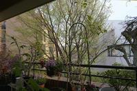 雨の後の借景のシデの木の芽が萌葱色に輝いていました - 生きる歓び Plaisir de Vivre。人生はつらし、されど愉しく美しく