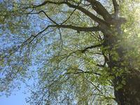 葉が茂り始めたプラタナス並木 - フランス Bons vivants idees d'aujourd'hui