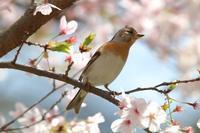 かなりマダラなシロハラ - 野鳥写真日記 自分用アーカイブズ